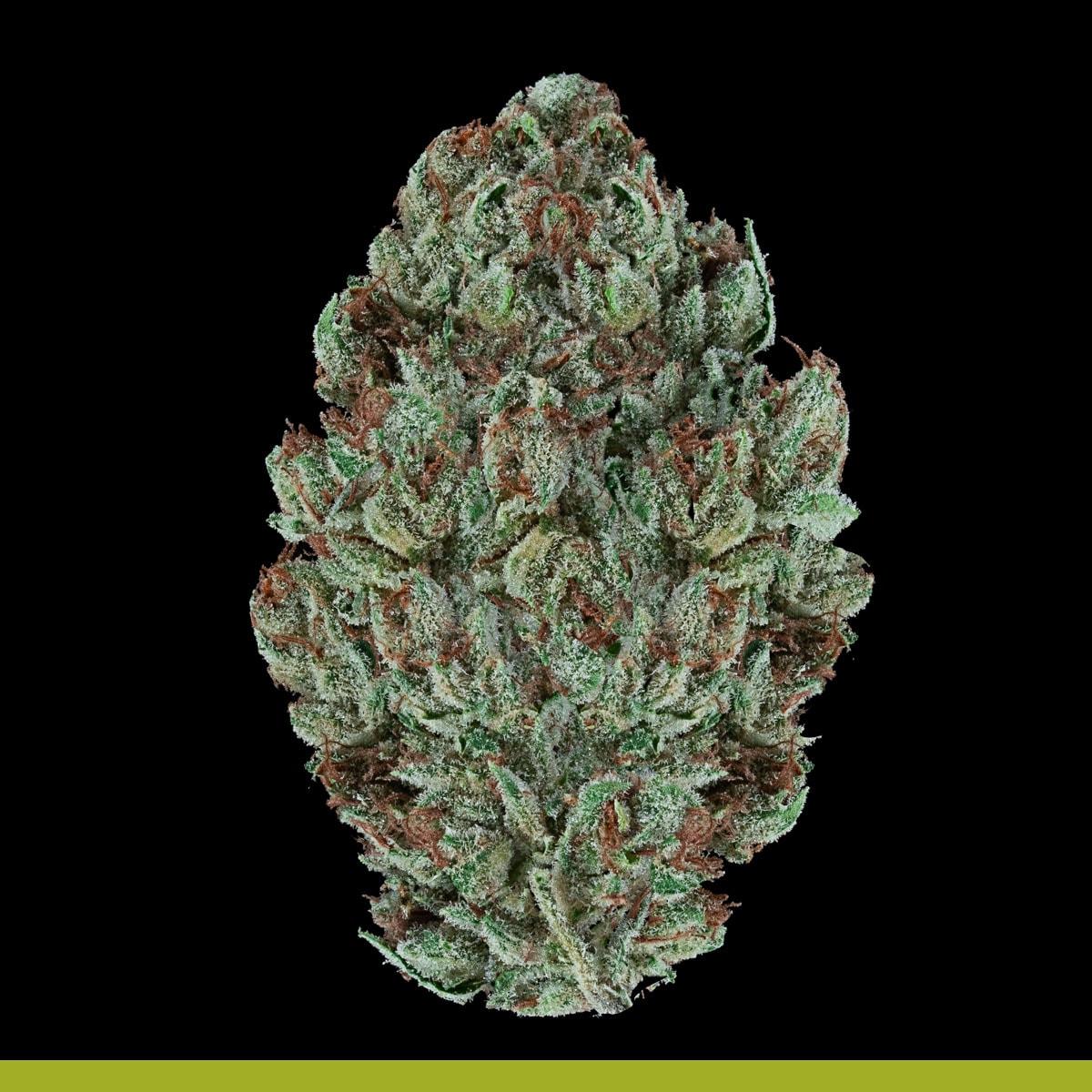 Kaya Weed Hybrid Sativa Strain Maestro